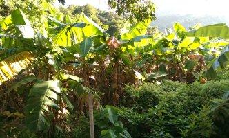 Common Banana (Musa x paradisiaca)